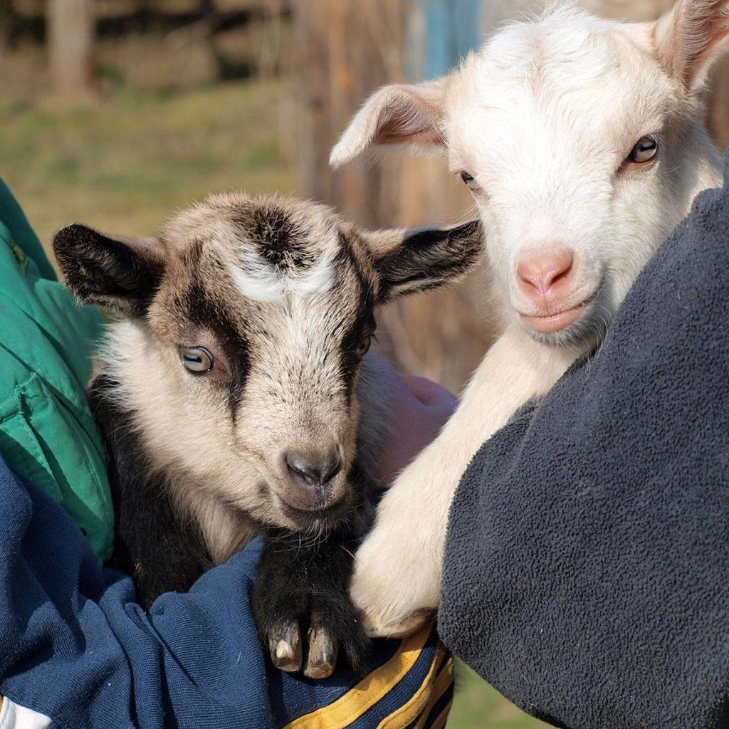 26932238 - newborn goat, south bohemia, czech republic